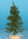 Freon MPN4 (BACKORDER)- European larch - low trunk (25-30 cm)