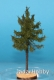 Freon MPW3 (BACKORDER)- European larch - high trunk (8-12 cm)